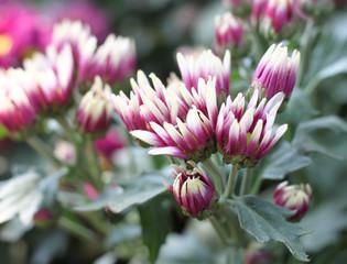 Gerbera pink flower Not yet in full bloom