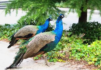 Peacocks couple closeup outdoor