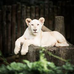 Baby white lion