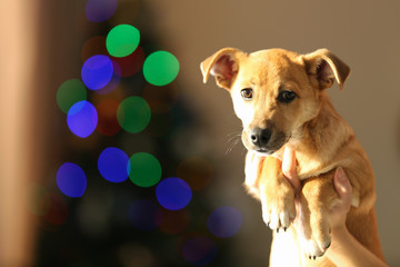 Small funny cute dog in hand on blurred Christmas background