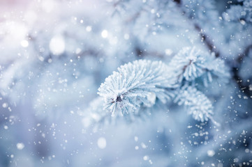 The branches of spruce covered with hoar frost close-up. Winter background