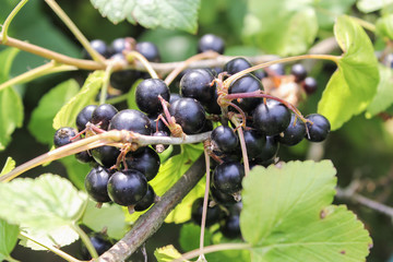 Bunch of black currant
