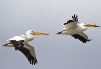 white pelican pair in flight