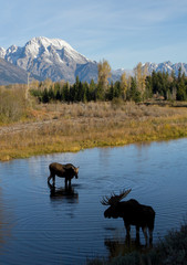 bull and cow moose courting in still water with perfect ripples beneath huge snow dusted rocky mountains
