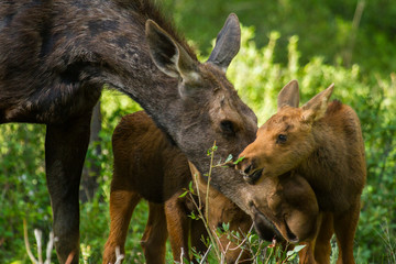 a mother moose nurtures her twin calves as they forage in the forest, the calf reaches to eat a twig