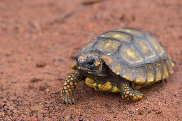 Little Yellow Footed Amazon Tortoise (Geochelone denticulata) in