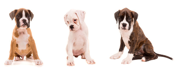 3 types of boxer puppies