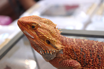 Close up of a bearded lizard, typical reptile