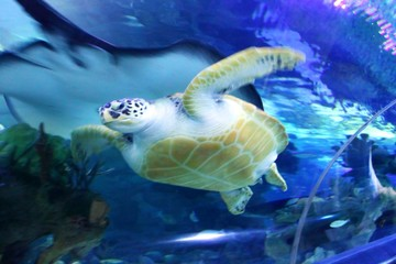 """Green Sea Turtle swimming . ...... .Save to a Lightbox ? .........  . . ... .Find Similar Images  .... .Share ? ..... ...Green Sea Turtle swimming"".."