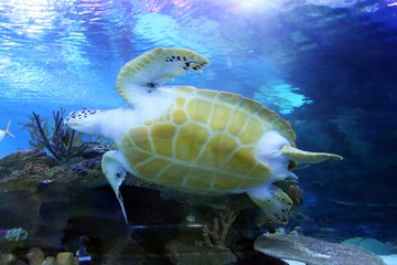 """""""Green Sea Turtle swimming . ...... .Save to a Lightbox ? .........  . . ... .Find Similar Images  .... .Share ? ..... ...Green Sea Turtle swimming"""".."""