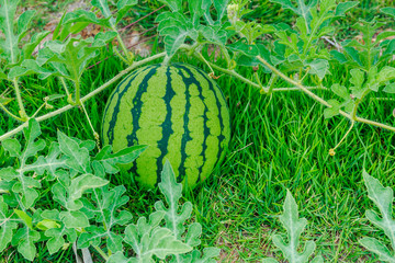 Watermelons on the green melon field in the summer