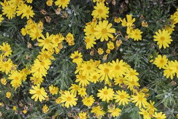 Prato di margherite gialle