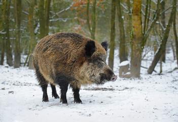 Boar in winter forest, The Netherlands