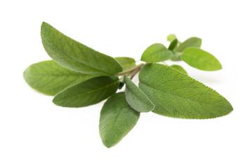 Salvia fresca su fondo bianco