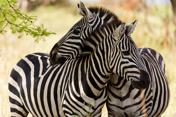 Photo sur Aluminium Zebra Zebras