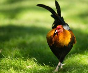 Feral Rooster Public Park Oahu Hawaii Wild Chicken
