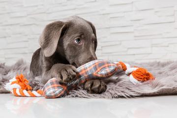 Labrador im Korb