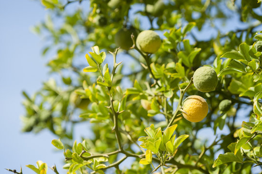 Yellow and green Fruits of Bergamot orange