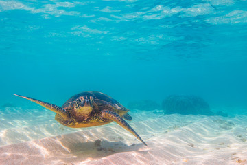 Hawaiian Green Sea Turtle cruising in the warm waters of the Pacific Ocean of Hawaii