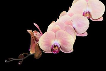 old rose color orchid on black background