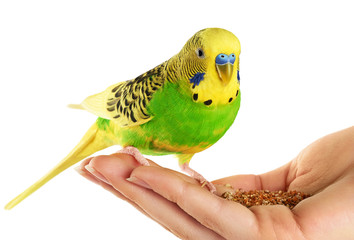 Budgerigar. Parrot isolated on white background.