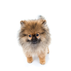 pomeranian dog sitting on isolated background