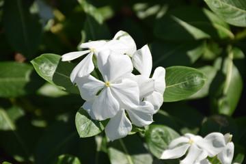 WhiteFlower In The Garden