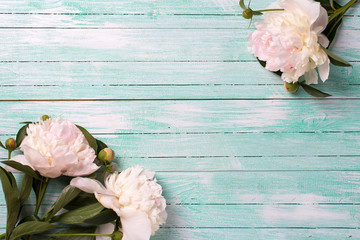 Splendid  white  pink  peonies flowers on turquoise painted wood