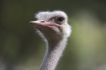 Close-up portrait of an ostrich