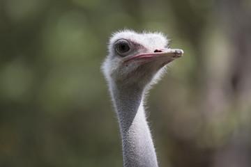 Close-up portrait of an ostrich