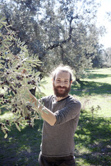 Handsome young Italian man picking fresh olives from a tree in the orchard outdoors on a sunny day