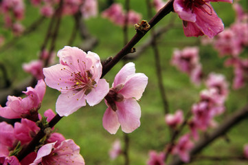 Pink peach flowers in a biologic flowered garden in spring time.