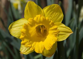 Detalle de Flor Narciso amarilla con gotas de agua despues de la lluvia dejando ver claramente los petalos de la corola y el interior con el pistilo, estigma y el estilo