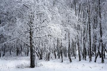 Birch grove after snowfall. Russia, Siberia, Novosibirsk region
