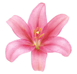 Pink lily.