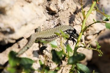 Gecko Mediodactylus kotschyi