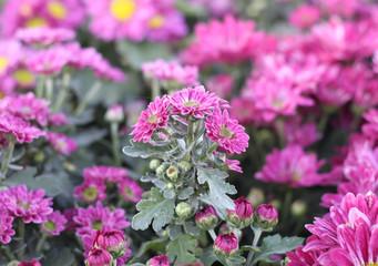 Gerbera pink flower in the garden