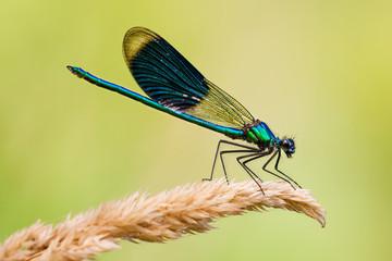 Calopteryx damselfly