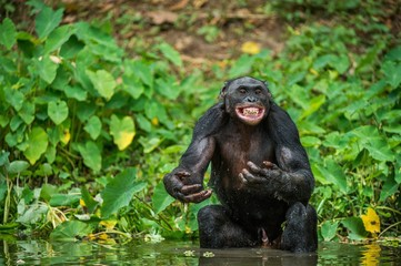 Portrait of a western lowland gorilla (Gorilla gorilla gorilla) close up at a short distance. adult female of a gorilla in a native habitat.