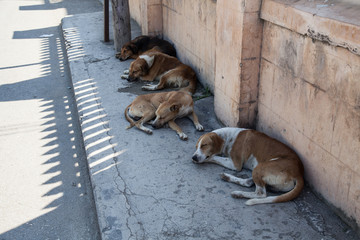 Street dogs resting in the shade, Falmouth, Jamaica