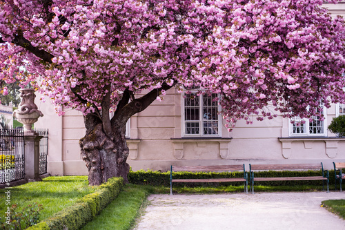 Large and old tree blossoming with large pink flowers with branches large and old tree blossoming with large pink flowers with branches hanging over stools salzburg mightylinksfo