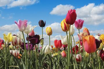 Fototapete - buntes Tulpenfeld und blauer Himmel mit Wolken