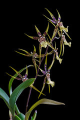 Orchid Brassia isolated on black background