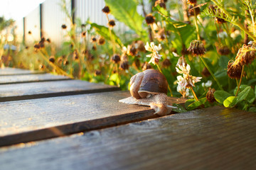 Grape snail crawling along the path in the garden with the sunse