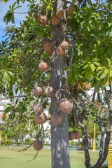 cannonball fruits tree in garden