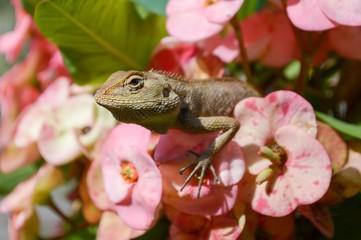 chameleon on pink flower in garden