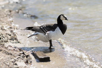 Barnacle Goose standing on the beach. Wild duck stands on the shore and looks at the water.