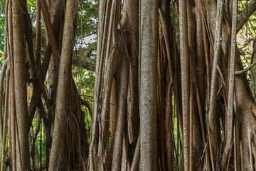 Close-up of a big Indian rubber tree (Ficus elastica), also called the Rubber fig in Hong Kong, China.