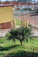 Yuca en flor, colegio de Pinofranqueado, Hurdes, España
