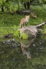 Mother Red Fox and Kit with Reflection in Lake